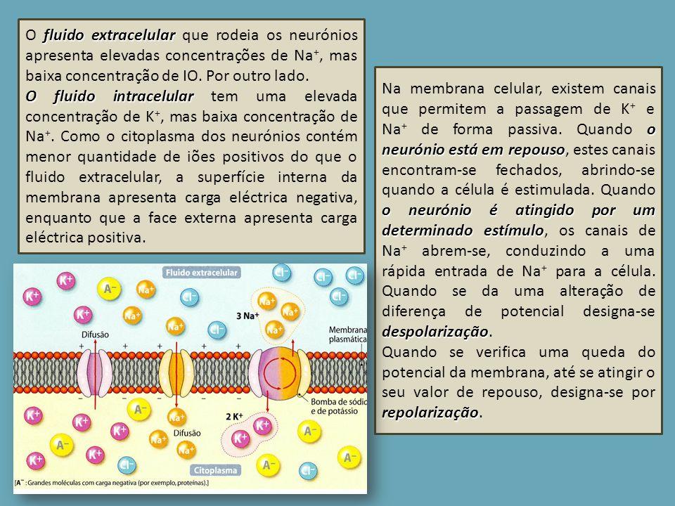 fluido extracelular O fluido extracelular que rodeia os neurónios apresenta elevadas concentrações de Na +, mas baixa concentração de IO. Por outro la