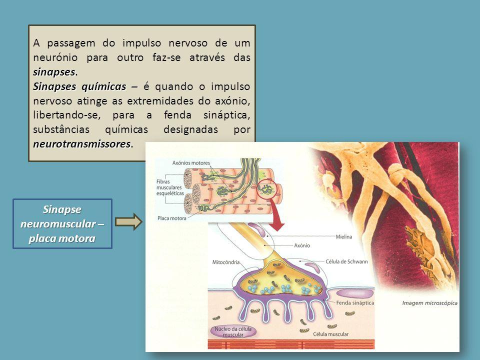 sinapses A passagem do impulso nervoso de um neurónio para outro faz-se através das sinapses. Sinapses químicas – neurotransmissores Sinapses químicas