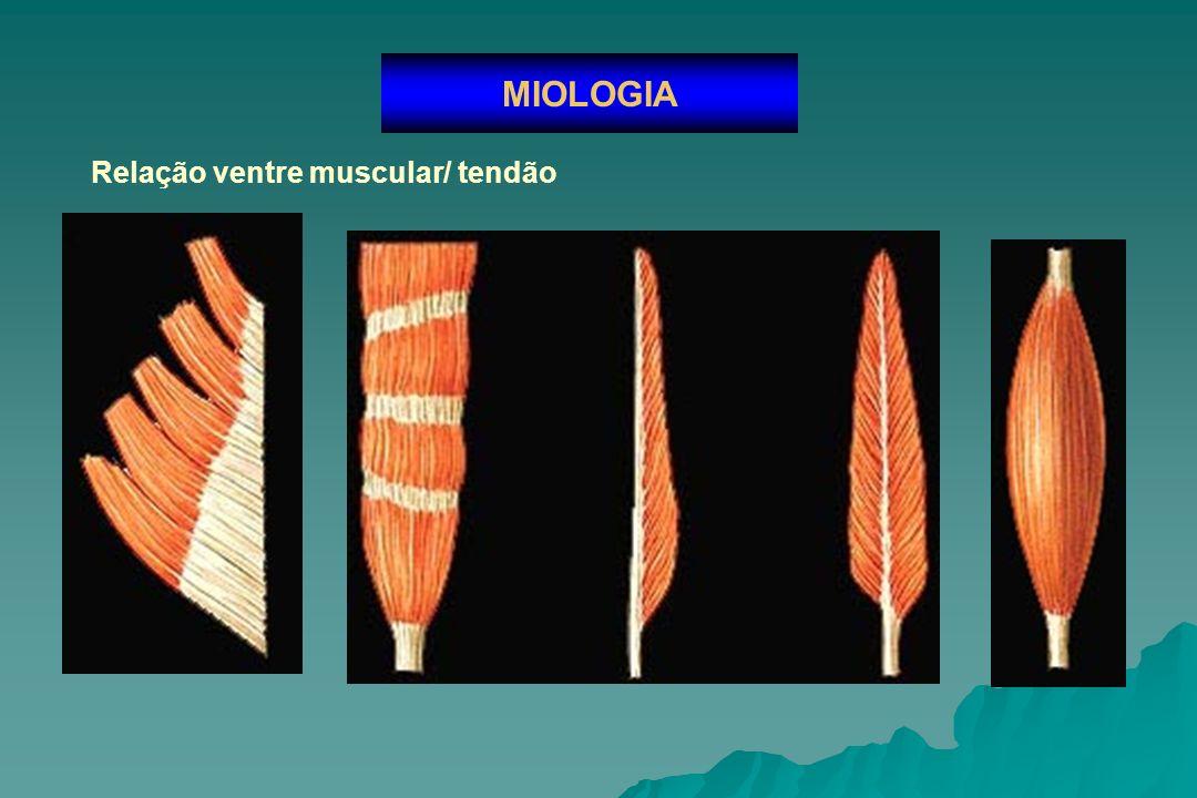 Classificação dos músculos MIOLOGIA Forma Longo Curto Circular Largo