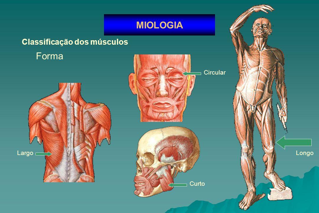 Classificação dos músculos MIOLOGIA Número de cabeças Bíceps Policaudado Poligástrico Número de ventres Número caudas