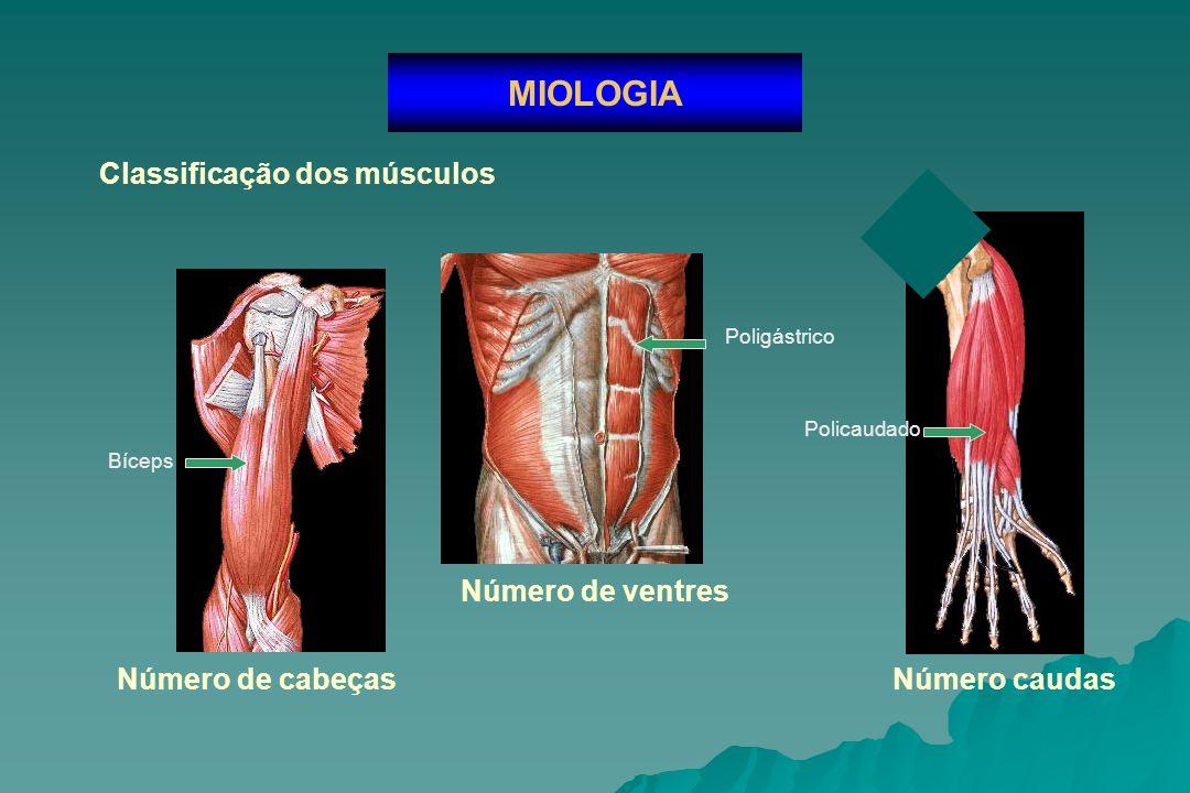 Classificação dos músculos MIOLOGIA Função Agonista Antagonista