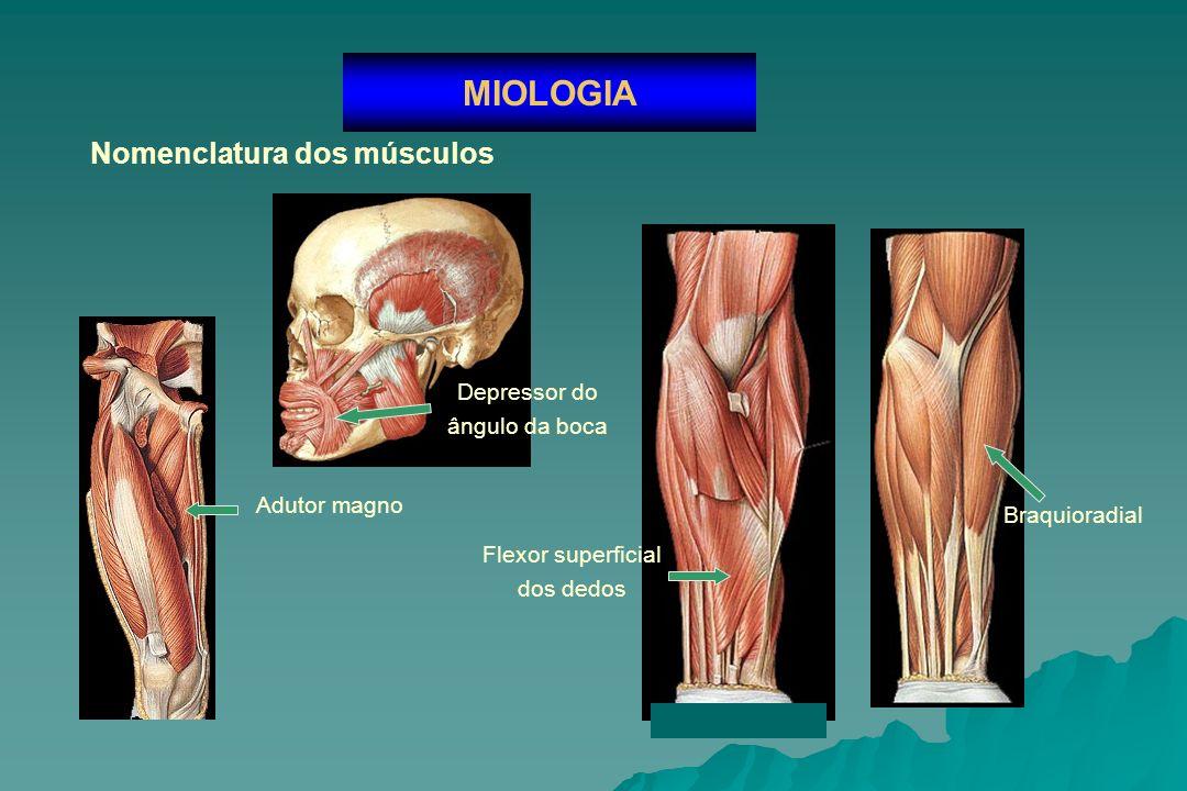 Anexos musculares MIOLOGIA Bolsas sinovias dos músculos Bainha fibrosa dos tendões Bainha sinovial dos tendões