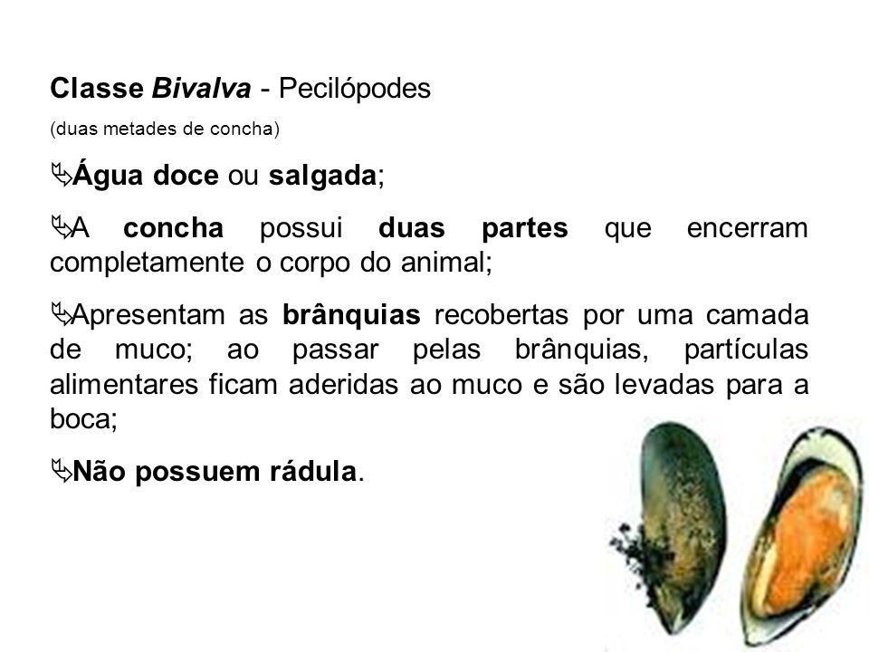 Classe Bivalva - Pecilópodes (duas metades de concha) Água doce ou salgada; A concha possui duas partes que encerram completamente o corpo do animal;