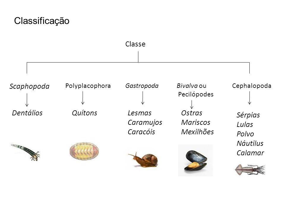 Classificação Scaphopoda Classe PolyplacophoraGastropodaBivalva ou Pecilópodes Cephalopoda DentáliosQuítonsLesmas Caramujos Caracóis Ostras Mariscos M