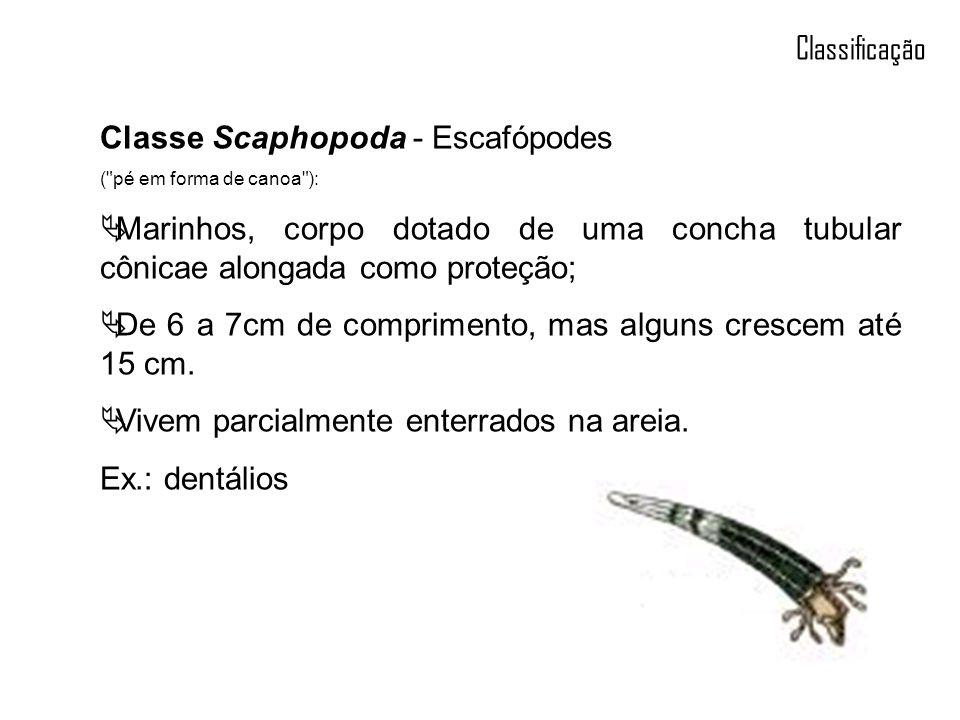 Classificação Classe Scaphopoda - Escafópodes (