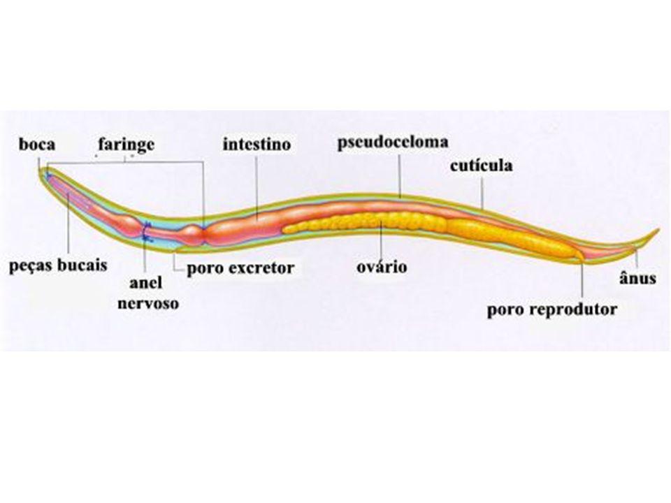 Diferenciação entre macho (ponta enrolada) e fêmea (ponta reta) do Ascaris.