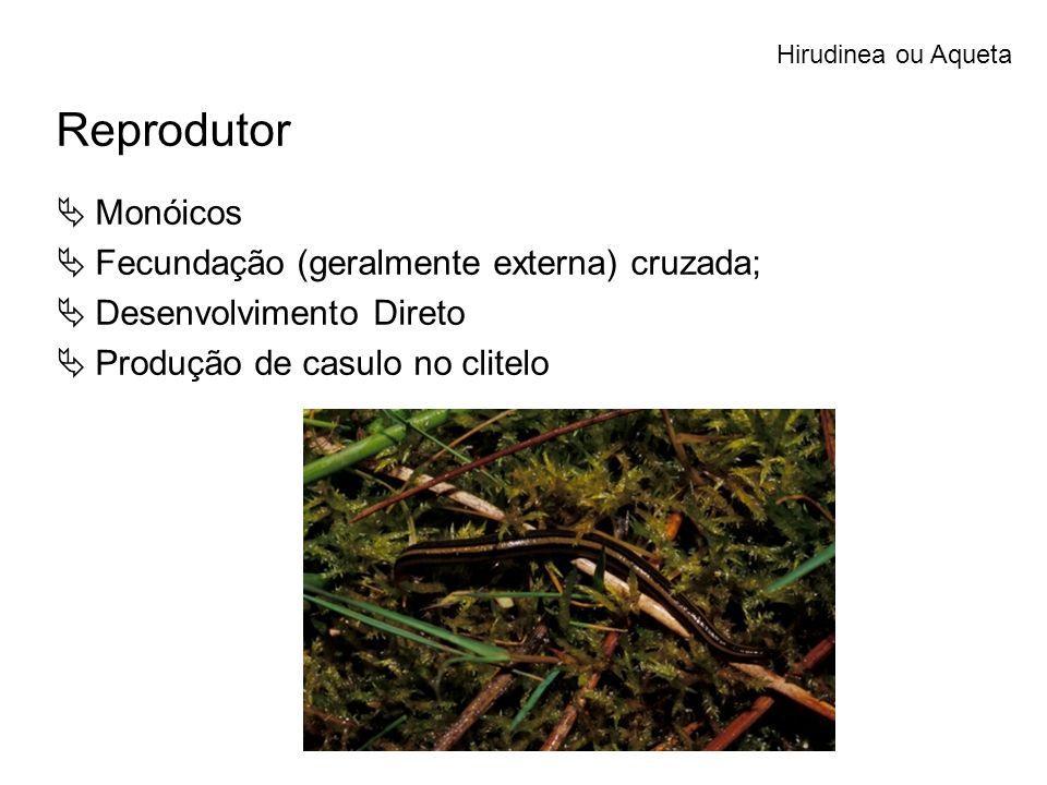 Reprodutor Monóicos Fecundação (geralmente externa) cruzada; Desenvolvimento Direto Produção de casulo no clitelo Hirudinea ou Aqueta