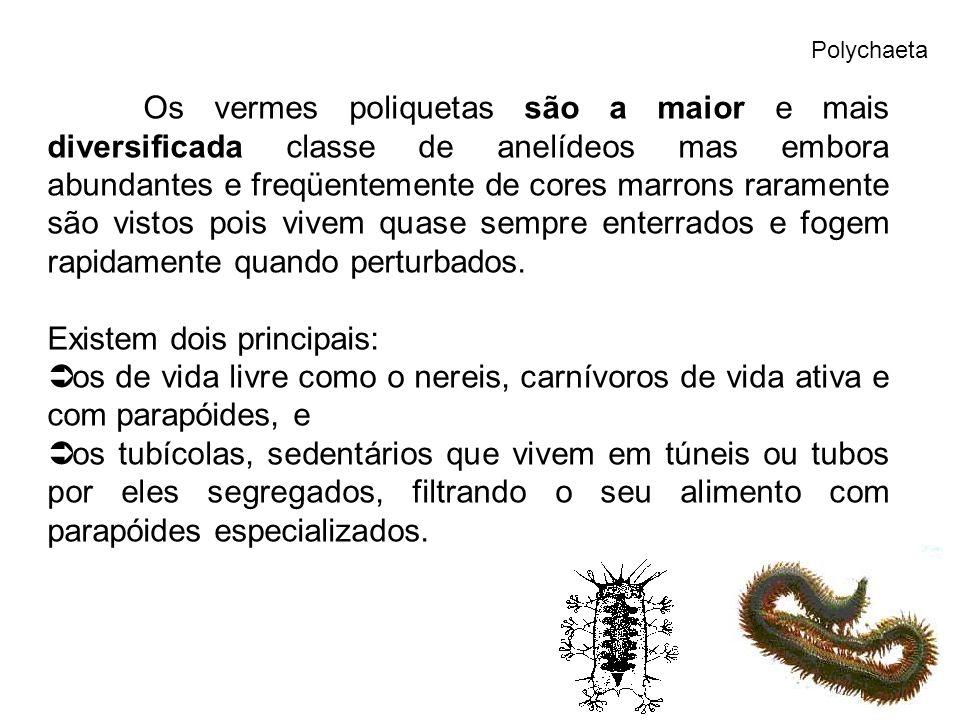 Polychaeta Os vermes poliquetas são a maior e mais diversificada classe de anelídeos mas embora abundantes e freqüentemente de cores marrons raramente são vistos pois vivem quase sempre enterrados e fogem rapidamente quando perturbados.