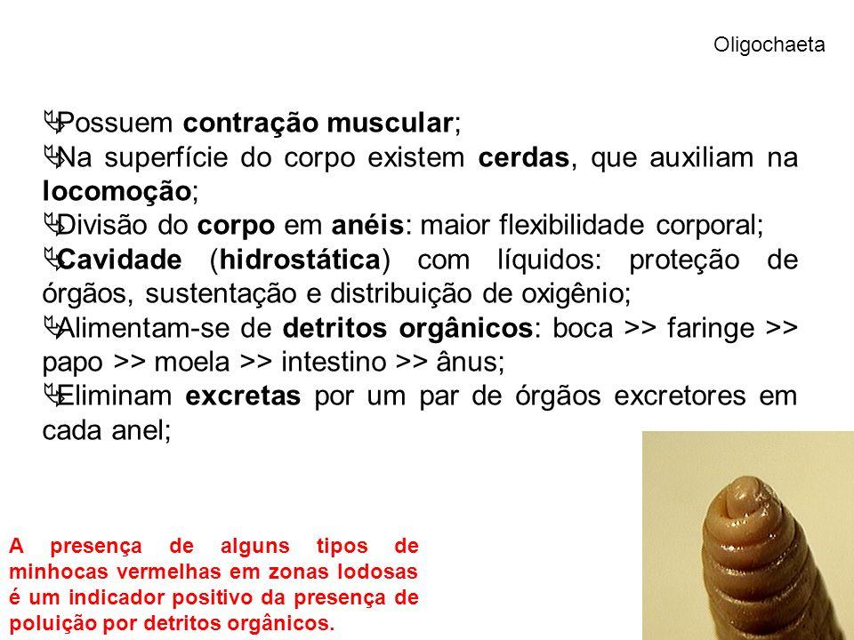 Oligochaeta Possuem contração muscular; Na superfície do corpo existem cerdas, que auxiliam na locomoção; Divisão do corpo em anéis: maior flexibilidade corporal; Cavidade (hidrostática) com líquidos: proteção de órgãos, sustentação e distribuição de oxigênio; Alimentam-se de detritos orgânicos: boca >> faringe >> papo >> moela >> intestino >> ânus; Eliminam excretas por um par de órgãos excretores em cada anel; A presença de alguns tipos de minhocas vermelhas em zonas lodosas é um indicador positivo da presença de poluição por detritos orgânicos.