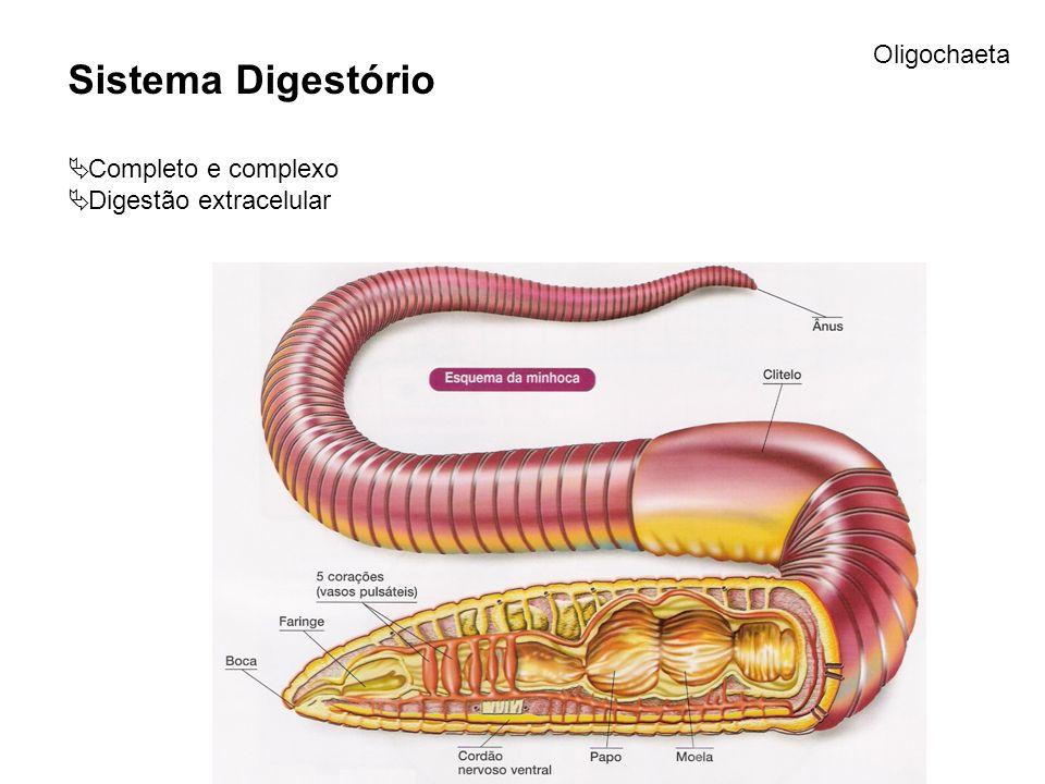 Sistema Digestório Completo e complexo Digestão extracelular Oligochaeta