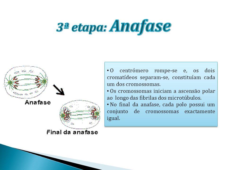 Inicia-se a organização dos núcleos-filhos e forma-se um invólucro nuclear em torno dos cromossomas de cada núcleo-filho.