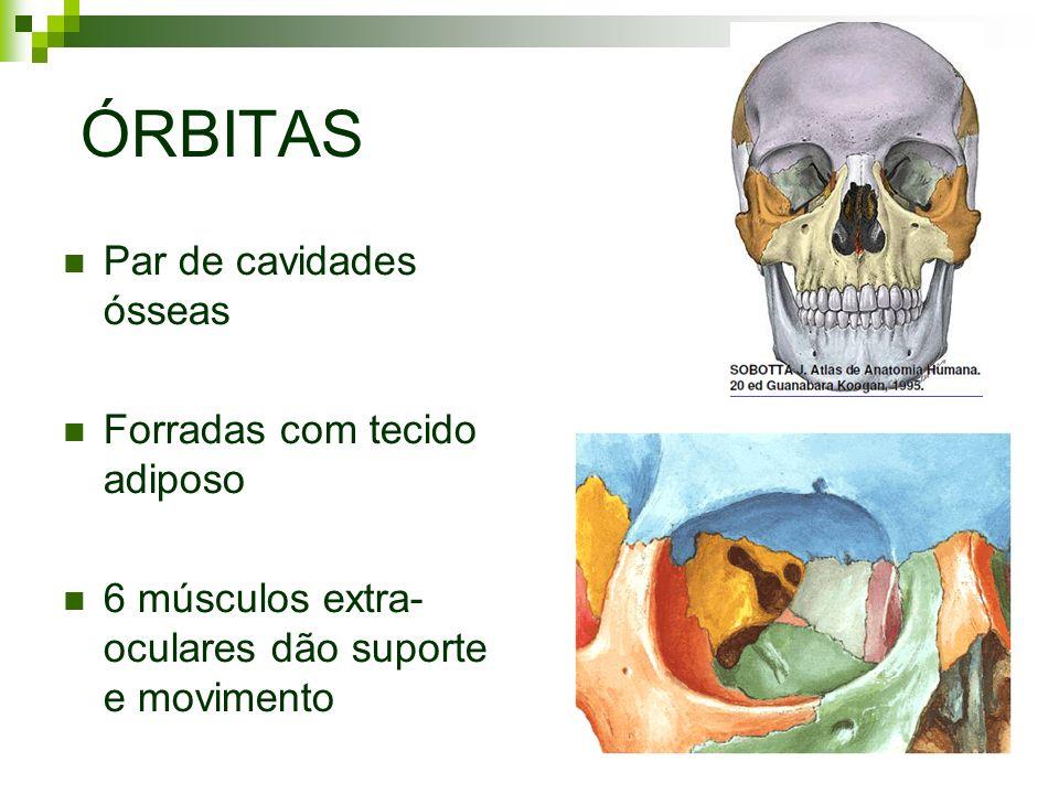 ÓRBITAS Par de cavidades ósseas Forradas com tecido adiposo 6 músculos extra- oculares dão suporte e movimento