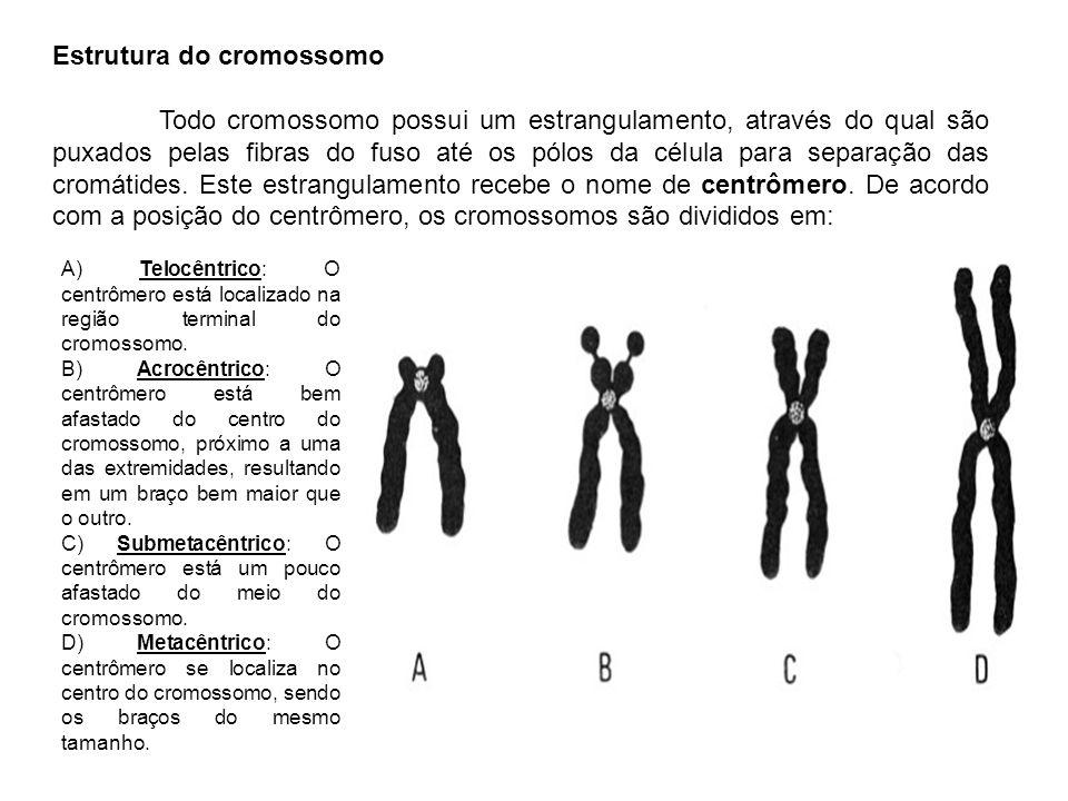 Estrutura do cromossomo Todo cromossomo possui um estrangulamento, através do qual são puxados pelas fibras do fuso até os pólos da célula para separa