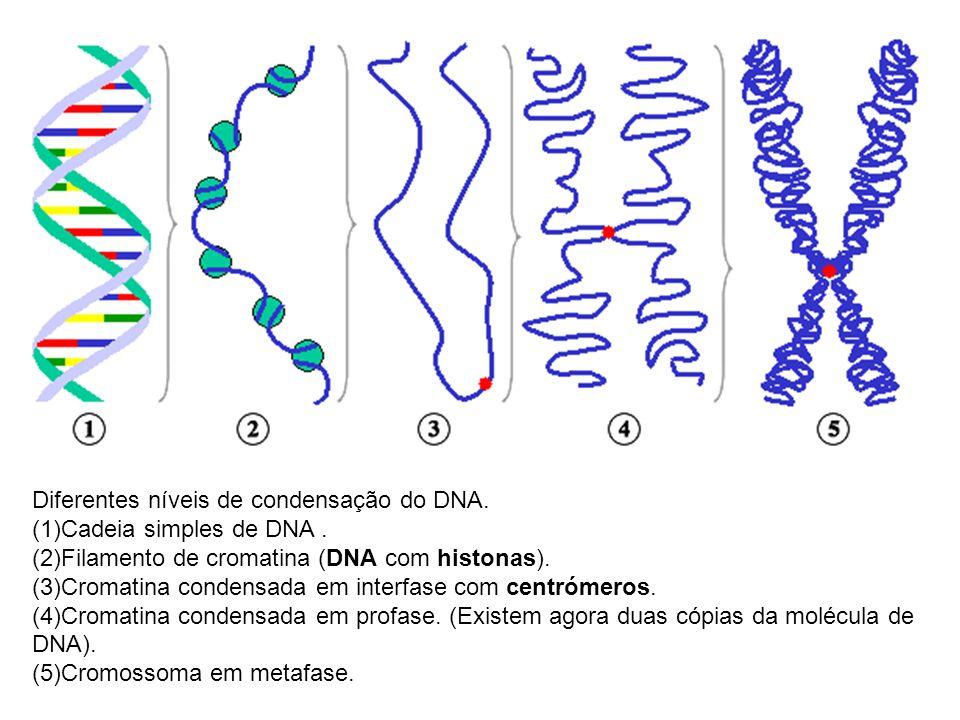 Diferentes níveis de condensação do DNA. (1)Cadeia simples de DNA. (2)Filamento de cromatina (DNA com histonas). (3)Cromatina condensada em interfase