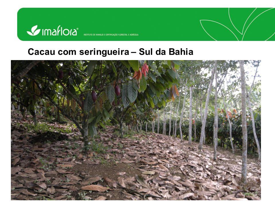 Cacau com seringueira – Sul da Bahia