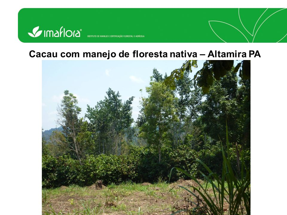 Chá com Eucalipto e Pinus – Missiones Argentina