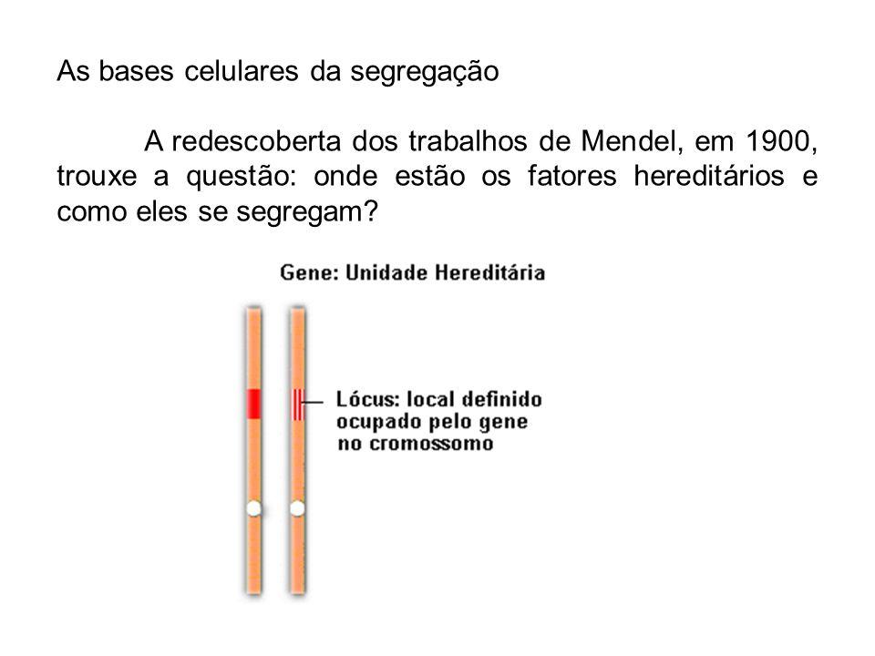 As bases celulares da segregação A redescoberta dos trabalhos de Mendel, em 1900, trouxe a questão: onde estão os fatores hereditários e como eles se
