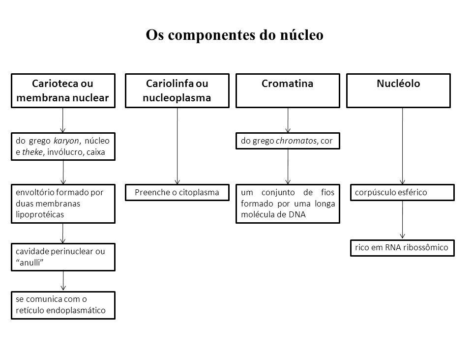 Os componentes do núcleo Carioteca ou membrana nuclear CromatinaNucléoloCariolinfa ou nucleoplasma do grego karyon, núcleo e theke, invólucro, caixa e