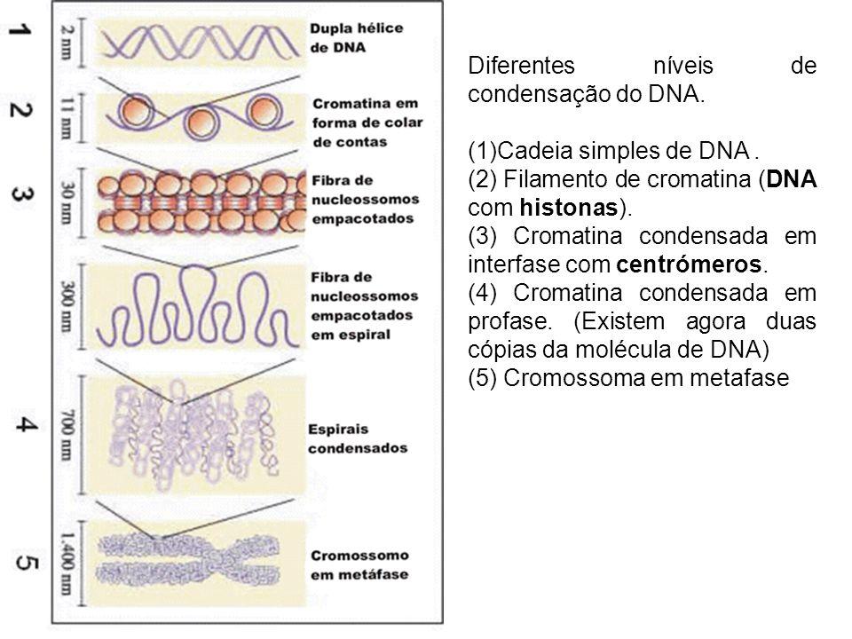 Diferentes níveis de condensação do DNA. (1)Cadeia simples de DNA. (2) Filamento de cromatina (DNA com histonas). (3) Cromatina condensada em interfas