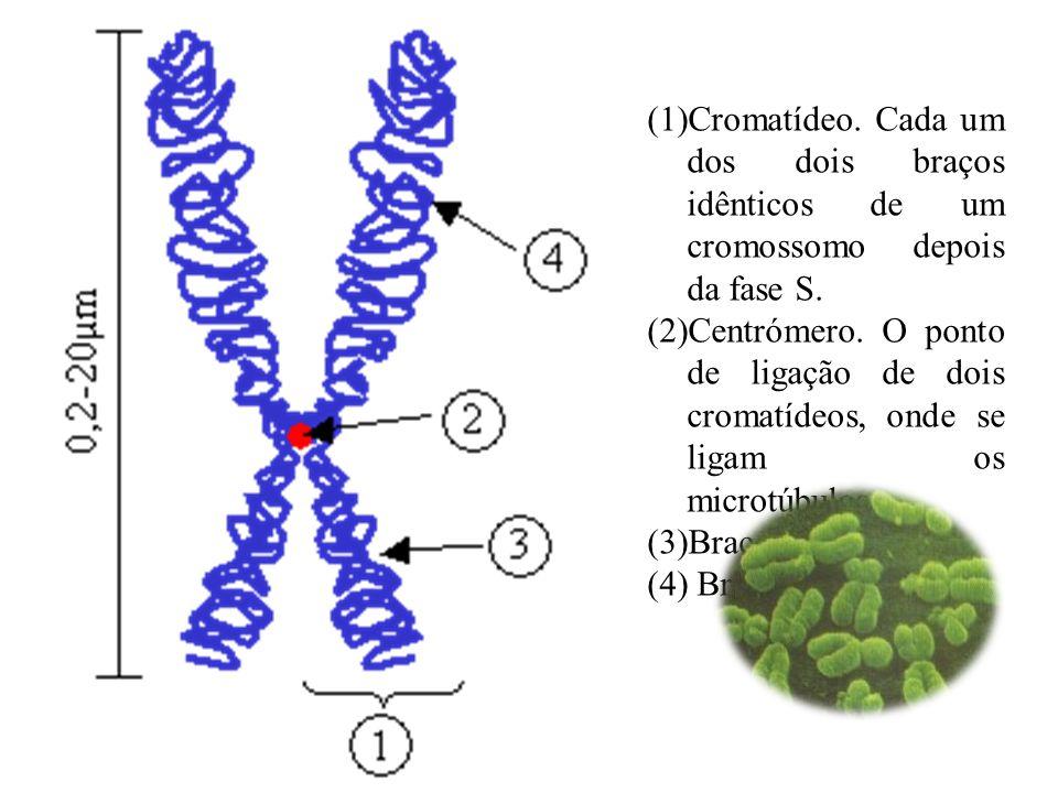 (1)Cromatídeo. Cada um dos dois braços idênticos de um cromossomo depois da fase S. (2)Centrómero. O ponto de ligação de dois cromatídeos, onde se lig