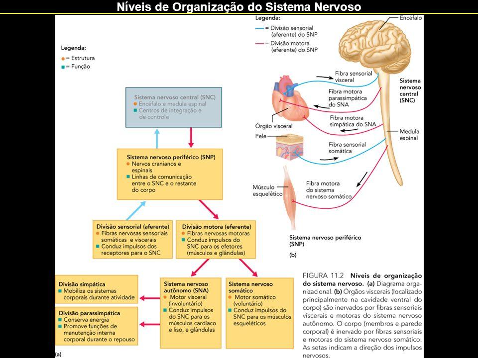 Níveis de Organização do Sistema Nervoso