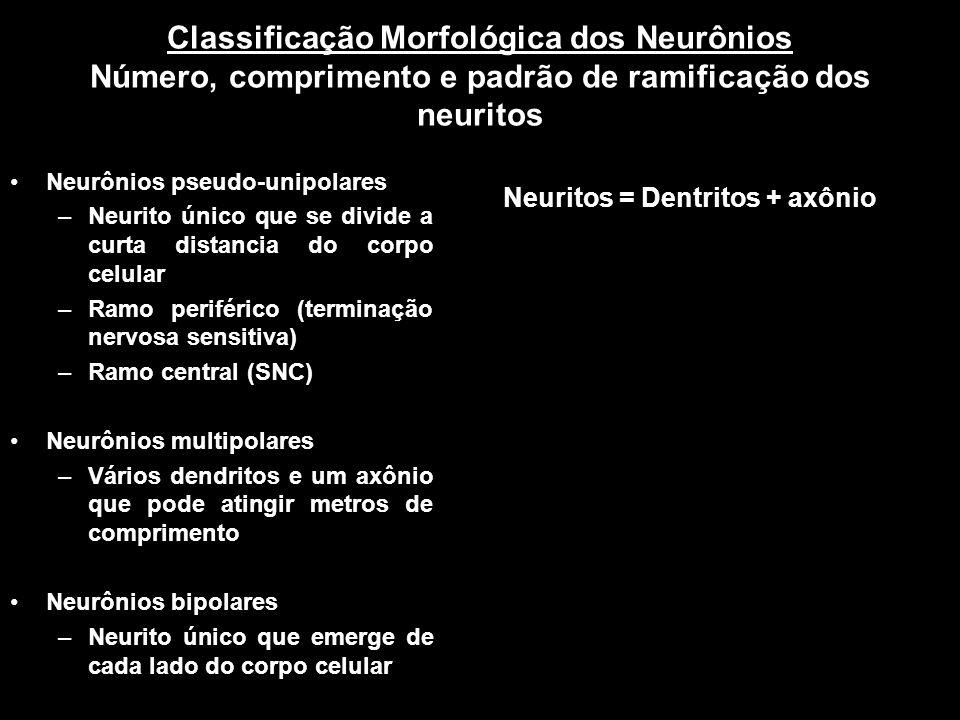 Classificação Morfológica dos Neurônios Número, comprimento e padrão de ramificação dos neuritos Neurônios pseudo-unipolares –Neurito único que se div