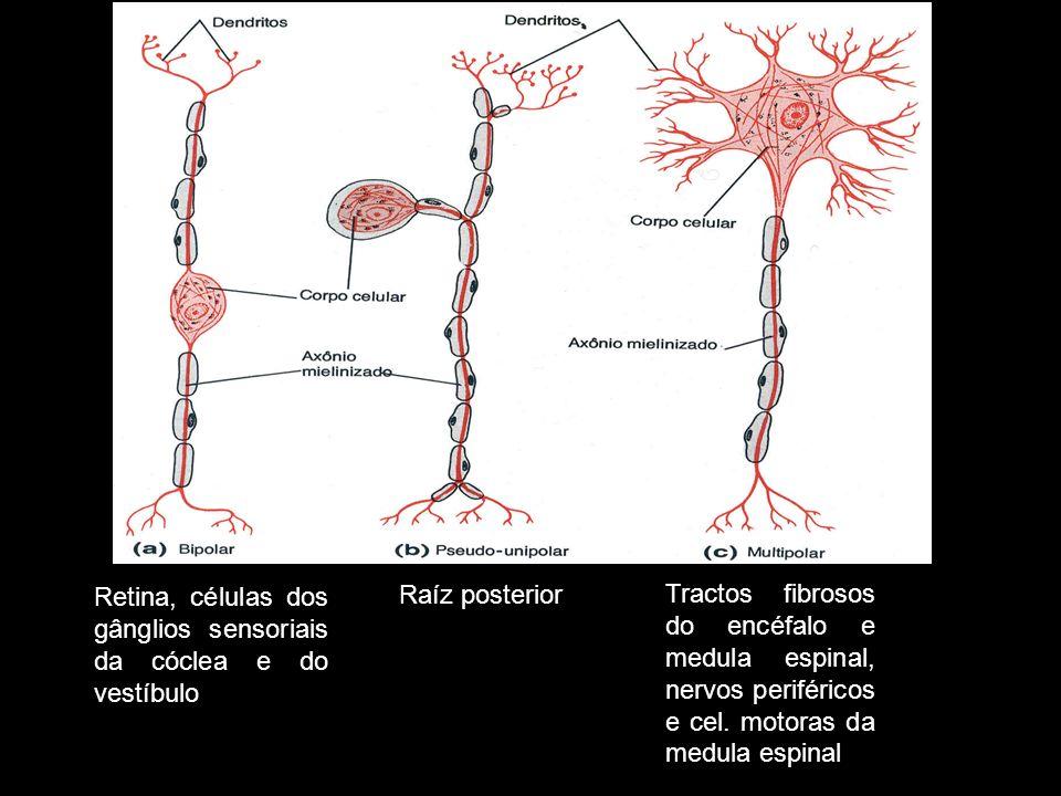 Retina, células dos gânglios sensoriais da cóclea e do vestíbulo Raíz posterior Tractos fibrosos do encéfalo e medula espinal, nervos periféricos e ce