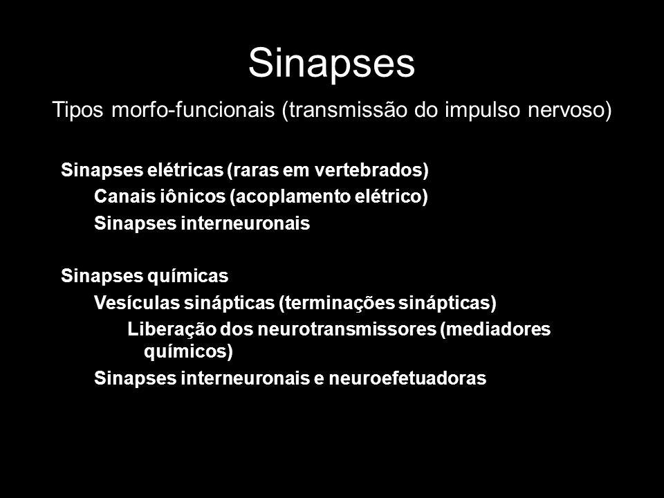 Sinapses Tipos morfo-funcionais (transmissão do impulso nervoso) Sinapses elétricas (raras em vertebrados) Canais iônicos (acoplamento elétrico) Sinap