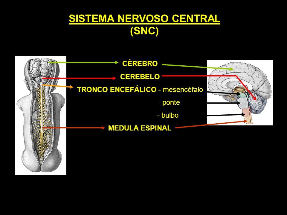 SISTEMA NERVOSO CENTRAL (SNC) CÉREBRO CEREBELO TRONCO ENCEFÁLICO - mesencéfalo - ponte - bulbo MEDULA ESPINAL