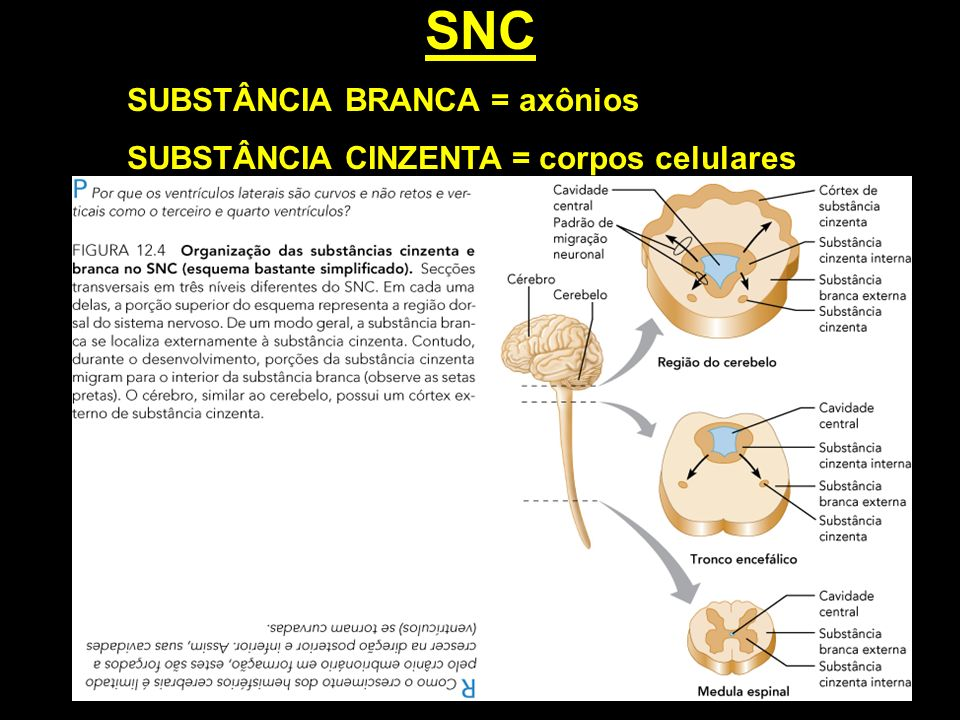 SNC SUBSTÂNCIA BRANCA = axônios SUBSTÂNCIA CINZENTA = corpos celulares