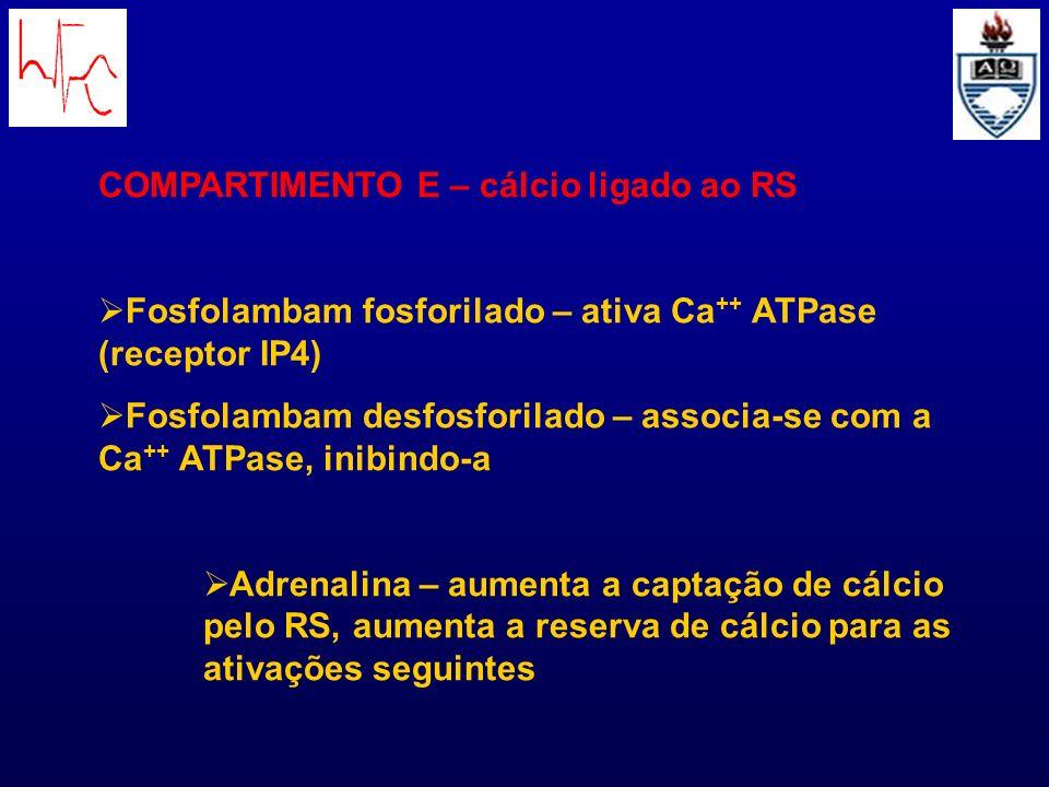 COMPARTIMENTO E – cálcio ligado ao RS Fosfolambam fosforilado – ativa Ca ++ ATPase (receptor IP4) Fosfolambam desfosforilado – associa-se com a Ca ++