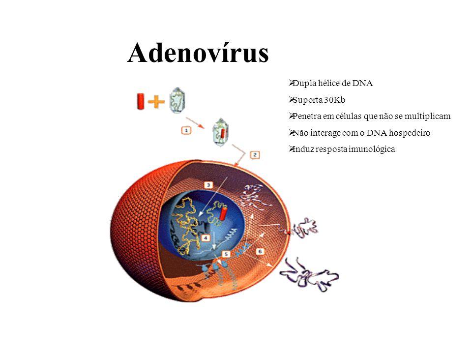 Adenovírus Dupla hélice de DNA Suporta 30Kb Penetra em células que não se multiplicam Não interage com o DNA hospedeiro Induz resposta imunológica