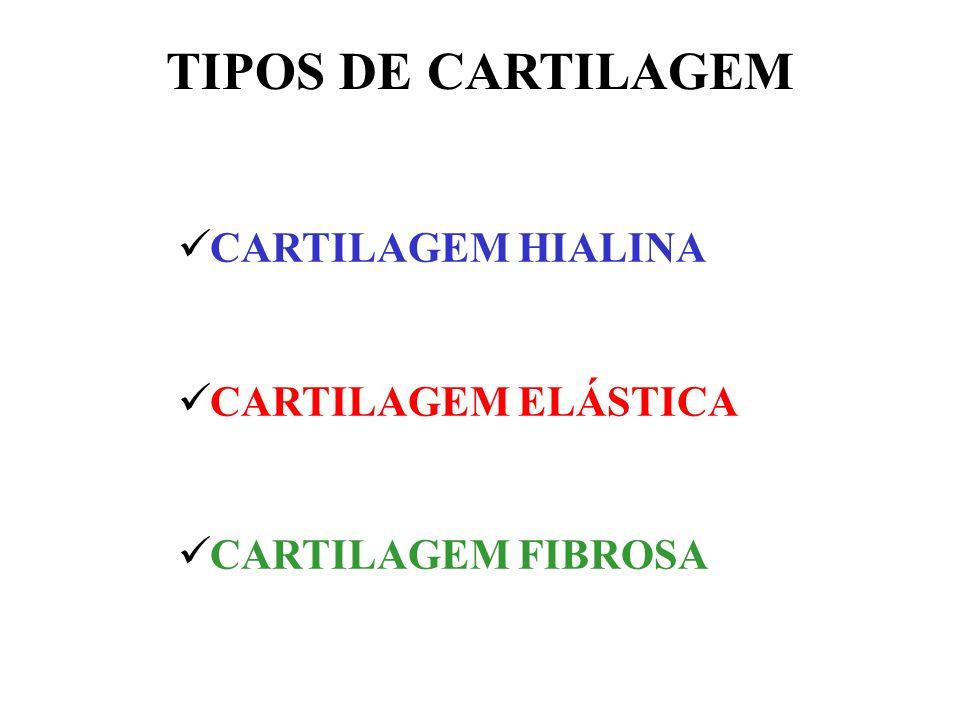 Cor: branco-azulada e (fibrilas de colágeno tipo II) Forma o primeiro esqueleto do embrião Constitui o disco epifisário Localização: fossas nasais, traquéia e brônquios, costelas e superfícies articulares dos ossos longos CARTILAGEM HIALINA