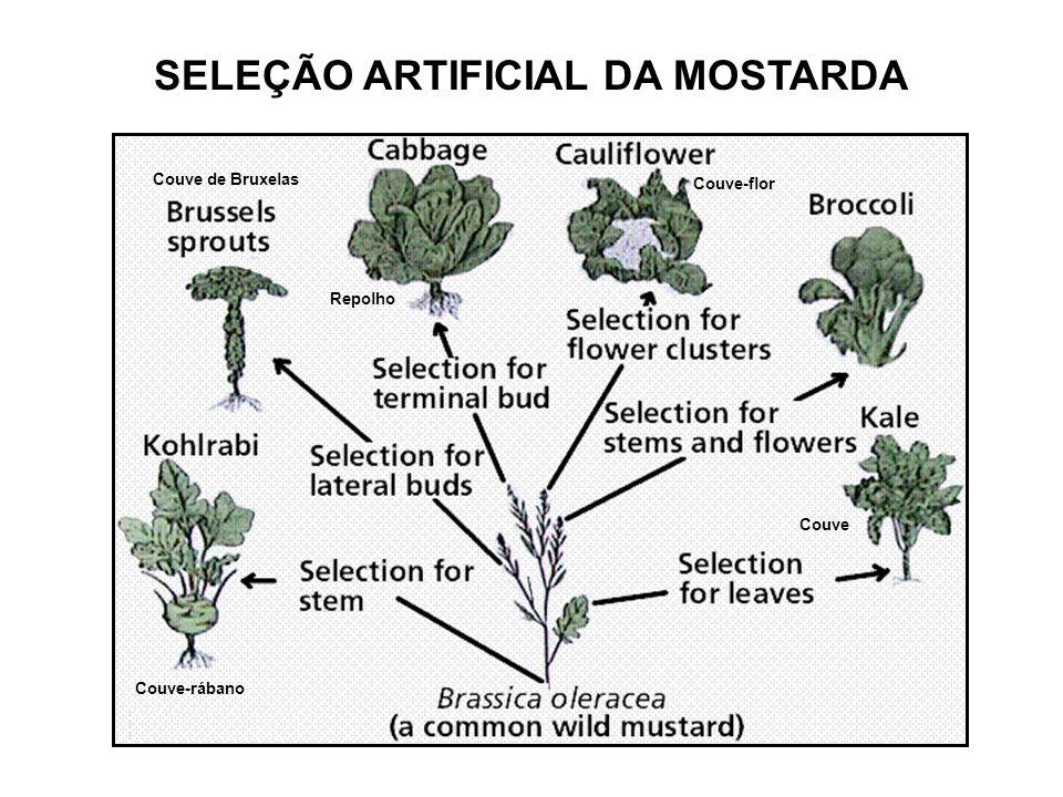 SELEÇÃO ARTIFICIAL DA MOSTARDA Couve de Bruxelas Repolho Couve-flor Couve Couve-rábano