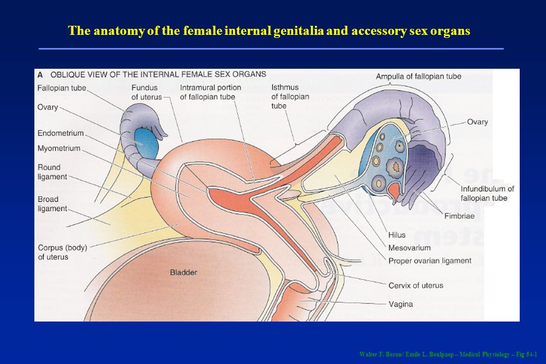 Walter F. Boron/ Emile L. Boulpaep – Medical Physiology – Fig 54-1 The anatomy of the female internal genitalia and accessory sex organs