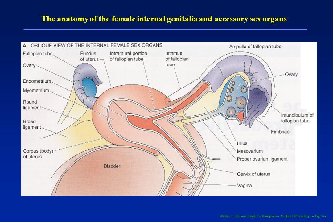 Endometriose Doença dependente de estrógeno Raro portanto na menopausa