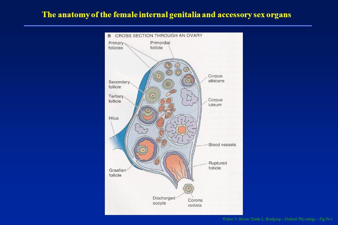 Gonadotrofina coriônica humana (hCG) Produzido pelo embrião logo após a fertilização Previne a desintegração do corpo lúteo Mantem a produção de progesterona Utilizado como marcador de gravidez Indutor de ovulação