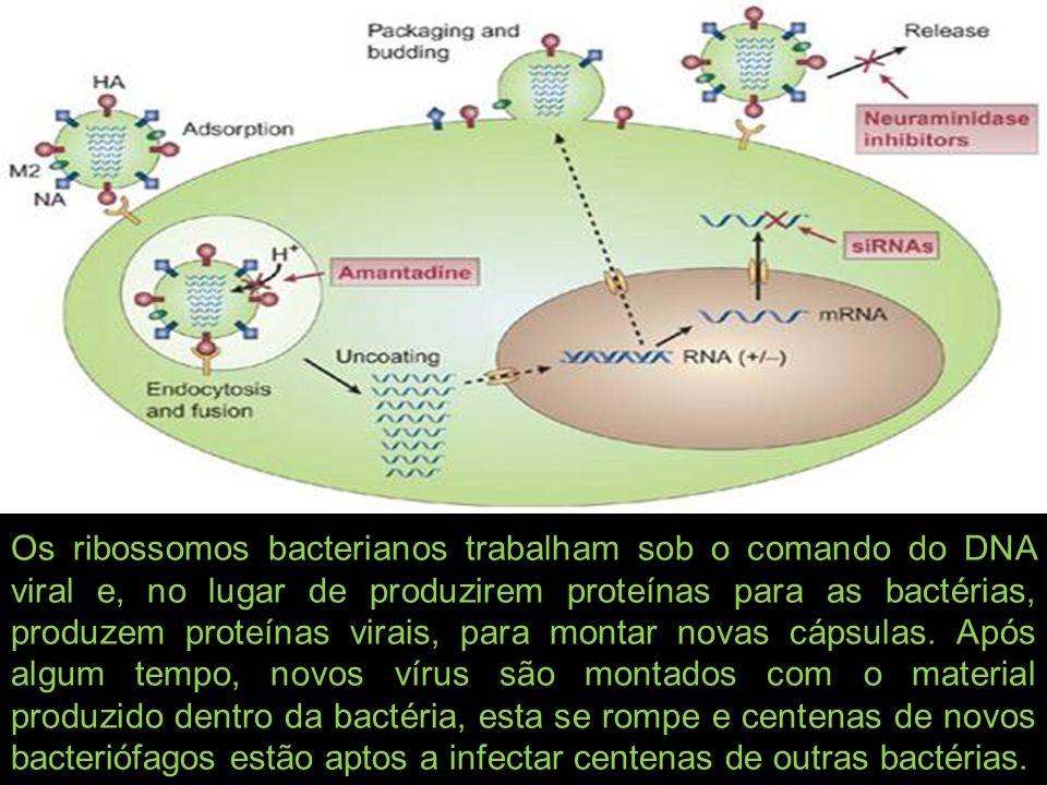 Os ribossomos bacterianos trabalham sob o comando do DNA viral e, no lugar de produzirem proteínas para as bactérias, produzem proteínas virais, para
