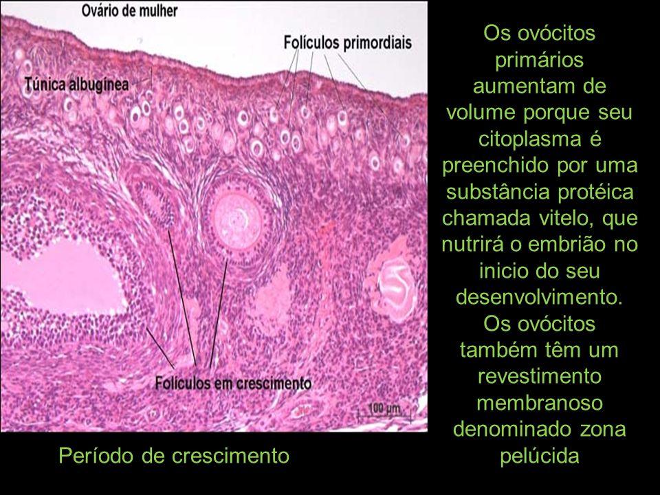 Os ovócitos primários aumentam de volume porque seu citoplasma é preenchido por uma substância protéica chamada vitelo, que nutrirá o embrião no inici
