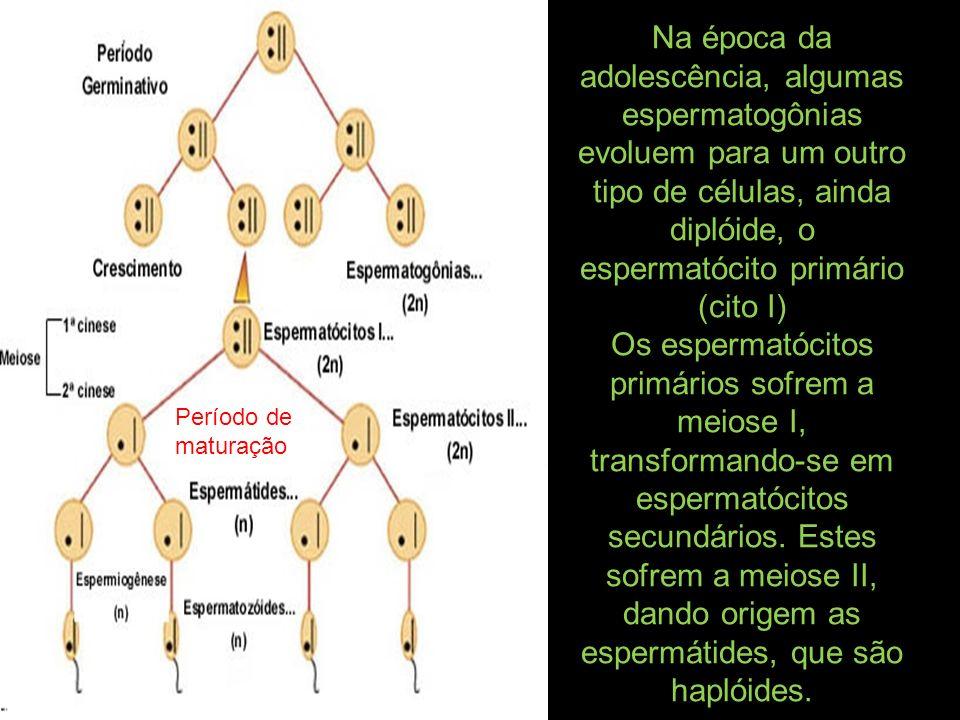 Na época da adolescência, algumas espermatogônias evoluem para um outro tipo de células, ainda diplóide, o espermatócito primário (cito I) Os espermat