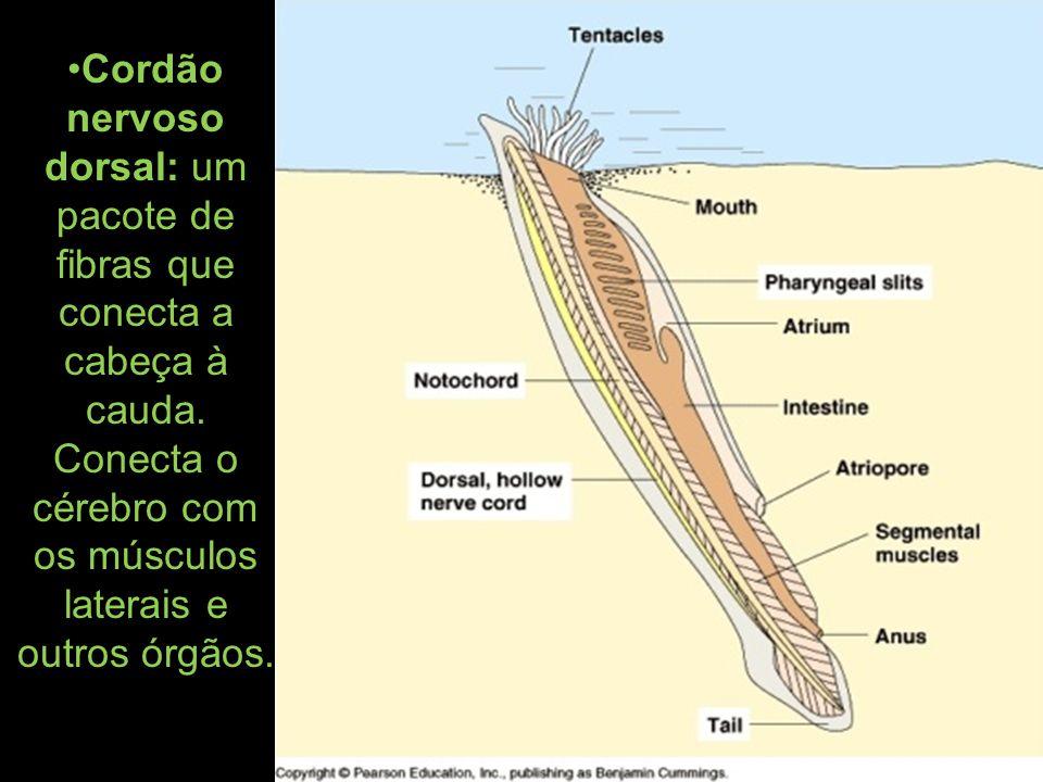 Cordão nervoso dorsal: um pacote de fibras que conecta a cabeça à cauda. Conecta o cérebro com os músculos laterais e outros órgãos.