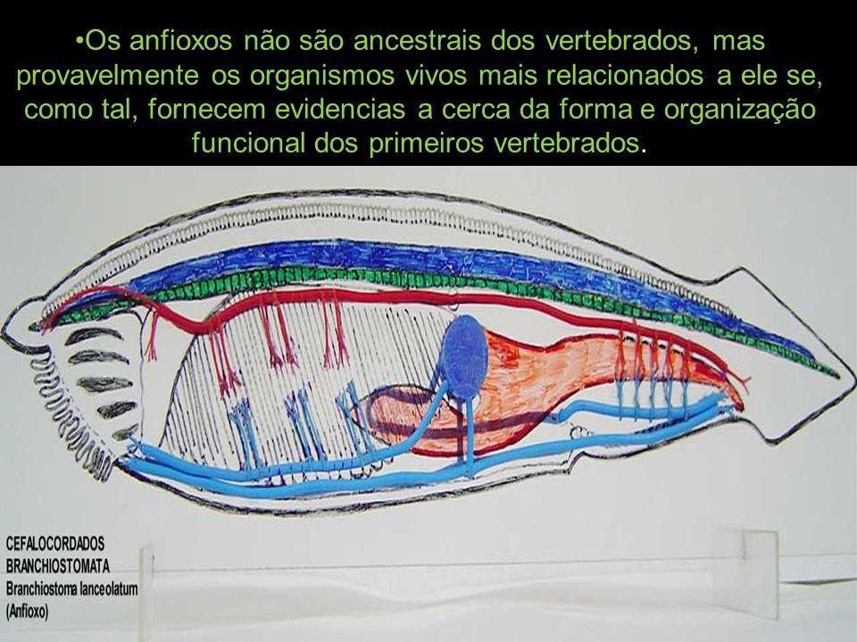 Os anfioxos não são ancestrais dos vertebrados, mas provavelmente os organismos vivos mais relacionados a ele se, como tal, fornecem evidencias a cerc