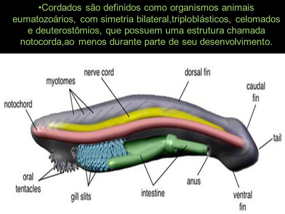 Cordados são definidos como organismos animais eumatozoários, com simetria bilateral,triploblásticos, celomados e deuterostômios, que possuem uma estr