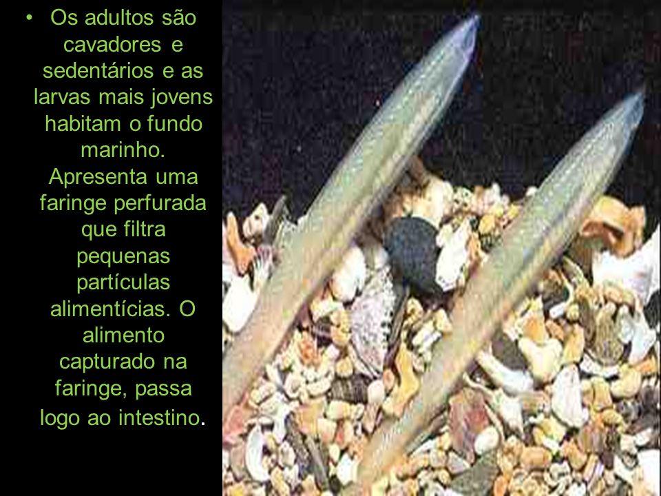 Os adultos são cavadores e sedentários e as larvas mais jovens habitam o fundo marinho. Apresenta uma faringe perfurada que filtra pequenas partículas