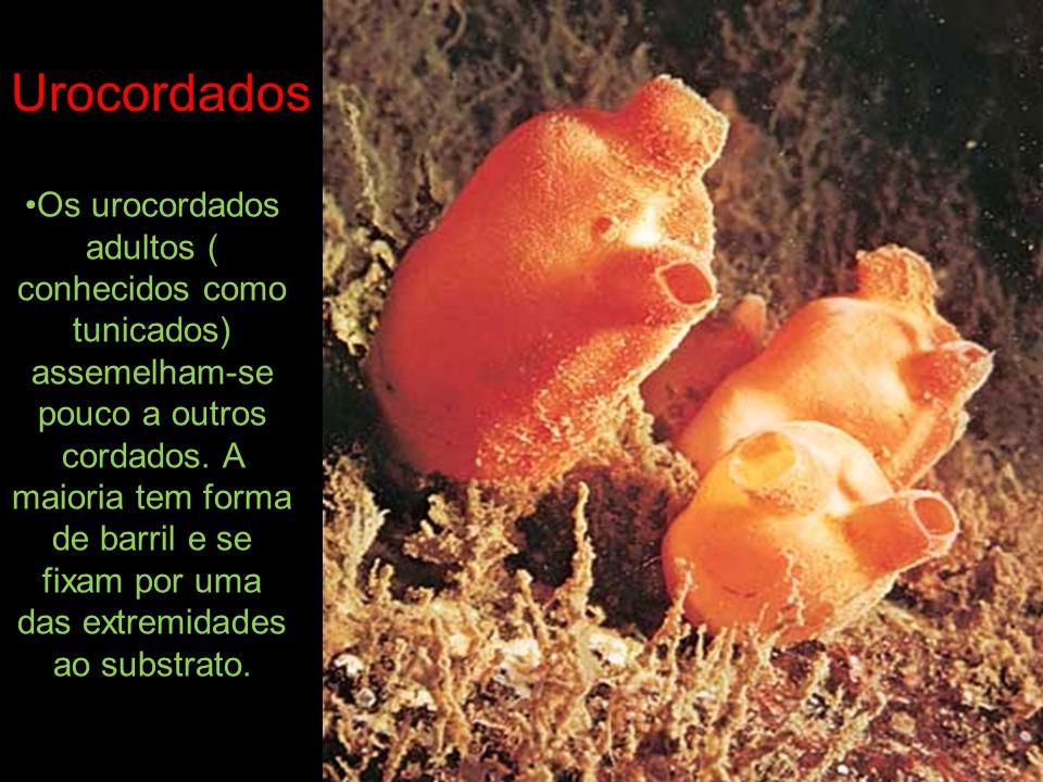 Os urocordados adultos ( conhecidos como tunicados) assemelham-se pouco a outros cordados. A maioria tem forma de barril e se fixam por uma das extrem