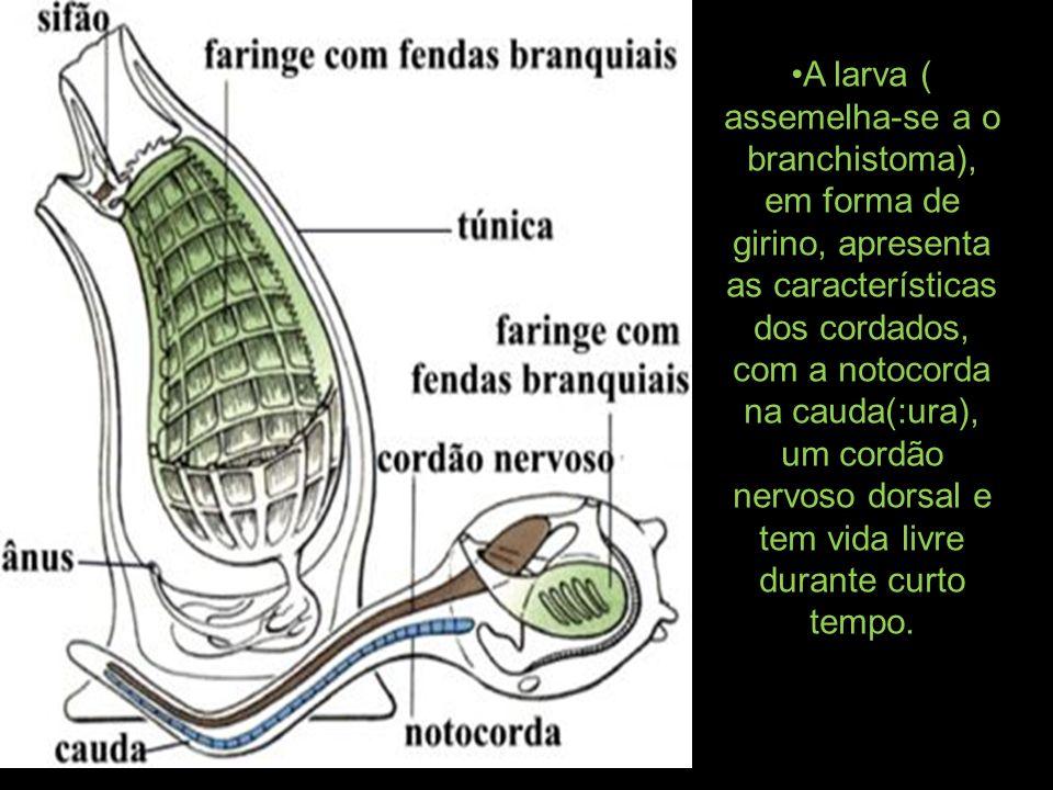 A larva ( assemelha-se a o branchistoma), em forma de girino, apresenta as características dos cordados, com a notocorda na cauda(:ura), um cordão ner