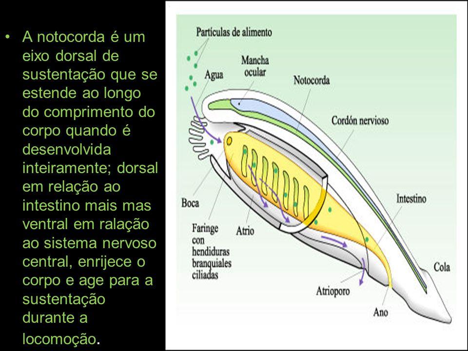 A notocorda é um eixo dorsal de sustentação que se estende ao longo do comprimento do corpo quando é desenvolvida inteiramente; dorsal em relação ao i