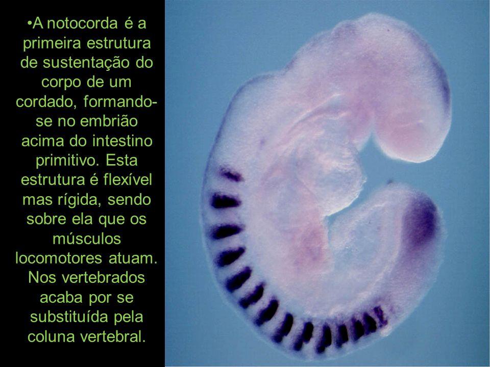 A larva ( assemelha-se a o branchistoma), em forma de girino, apresenta as características dos cordados, com a notocorda na cauda(:ura), um cordão nervoso dorsal e tem vida livre durante curto tempo.