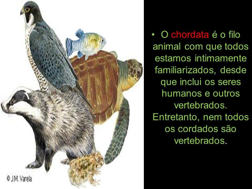 O chordata é o filo animal com que todos estamos intimamente familiarizados, desde que inclui os seres humanos e outros vertebrados. Entretanto, nem t