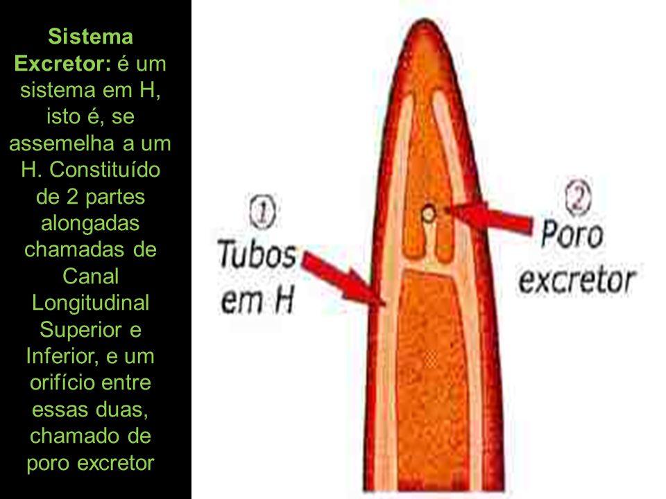 Sistema Excretor: é um sistema em H, isto é, se assemelha a um H. Constituído de 2 partes alongadas chamadas de Canal Longitudinal Superior e Inferior